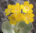 Primula Schluesselblume Bluete gelb Primula auricula 01