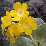 Primula Schluesselblume Bluete gelb Primula auricula 03
