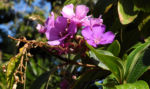 Prinzessinnenblume Bluete lila Tibouchina granulosa 04