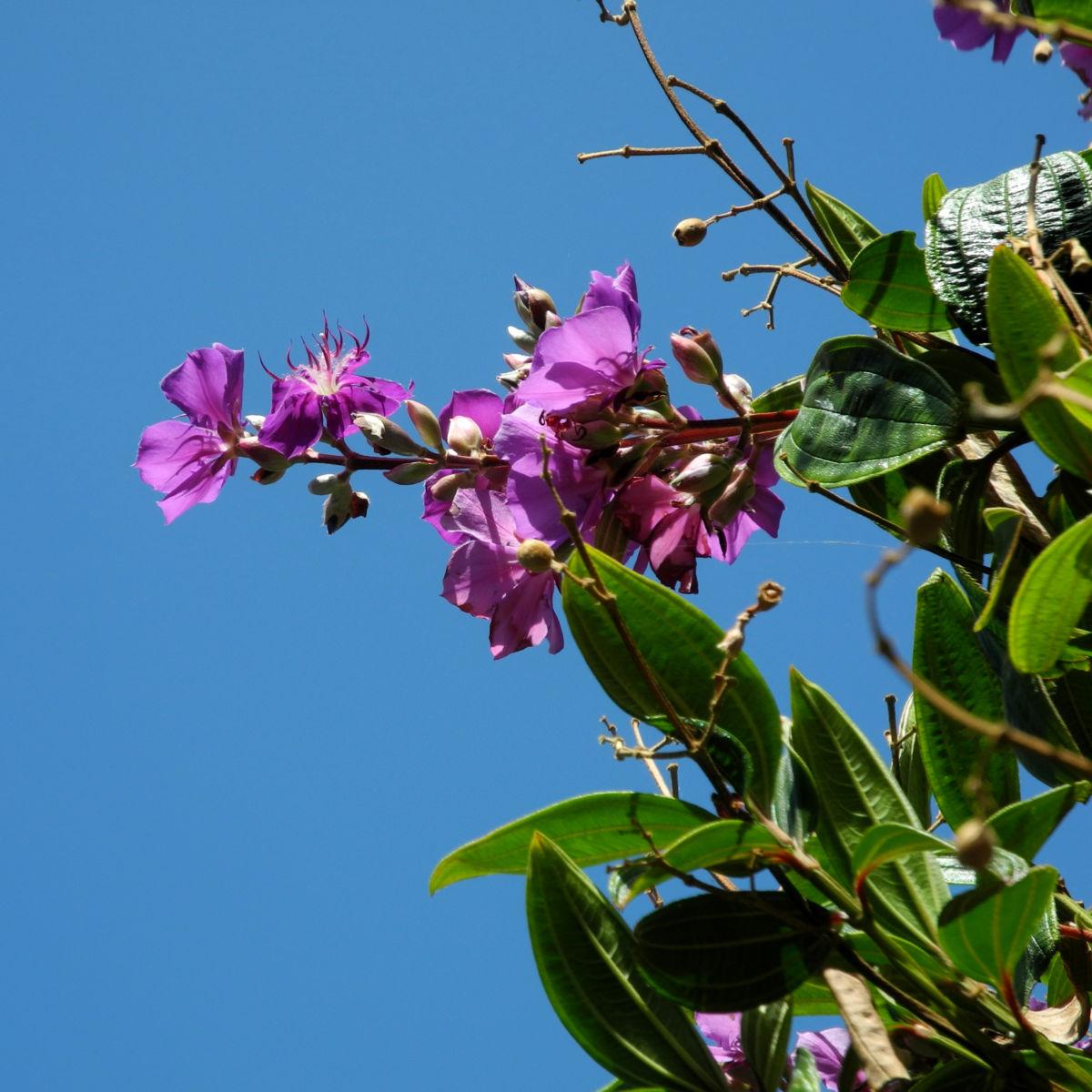 Prinzessinnenblume Bluete lila Tibouchina granulosa