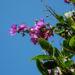 Zurück zum kompletten Bilderset Prinzessinnenblume Blüte pink Tibouchina granulosa
