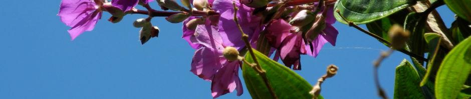 prinzessinnenblume-bluete-pink-tibouchina-granulosa