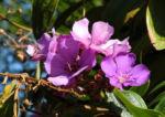 Prinzessinnenblume Bluete lila Tibouchina granulosa 07