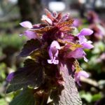 Prunella vulgaris 02