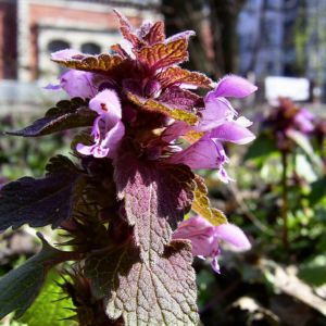Prunella vulgaris 03