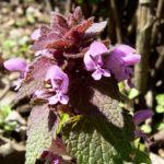 Prunella vulgaris 04