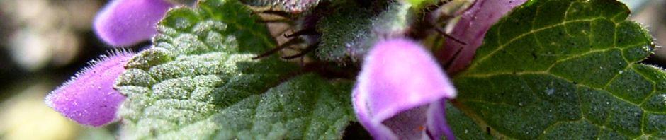 kleine-braunelle-bluete-pink-prunella-vulgaris