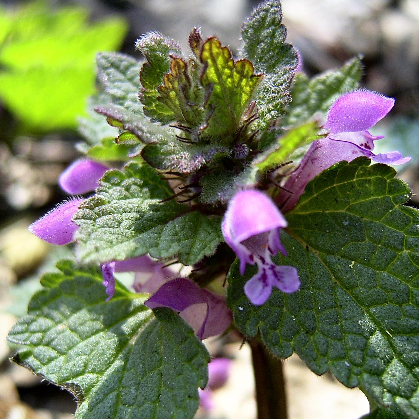 Bild: Kleine Braunelle Blüte pink Prunella vulgaris