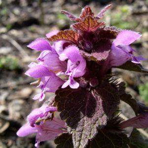 Prunella vulgaris 06