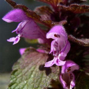 Prunella vulgaris 07