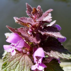 Prunella vulgaris 08