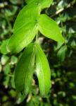 Puderquastenstrauch Blatt gruen Calliandra haematocephala 01