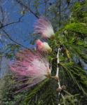 Puderquastenstrauch Bluete rot Calliandra haematocephala 01