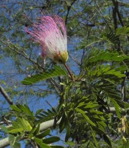 Puderquastenstrauch Bluete rot Calliandra haematocephala 07