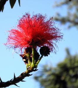 Puderquastenstrauch Blüte rot Calliandra haematocephala