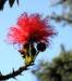 Zurück zum kompletten Bilderset Puderquastenstrauch Blüte rot Calliandra haematocephala