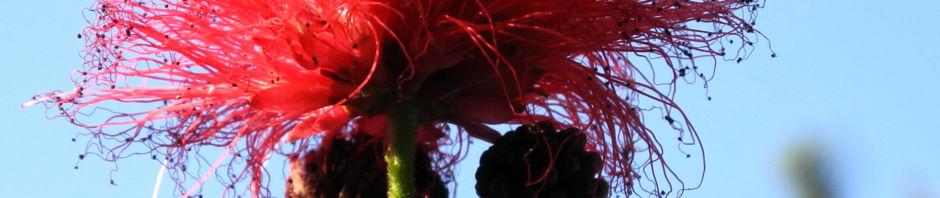 Anklicken um das ganze Bild zu sehen Puderquastenstrauch Blüte rot Calliandra haematocephala