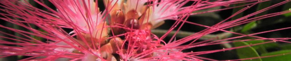 puderquasten-strauch-bluete-rot-calliandra-surinamensis