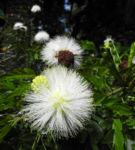 Puderquastenstrauch Bluete weiß Calliandra haematocephala 02