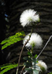 Puderquastenstrauch Bluete weiß Calliandra haematocephala 03