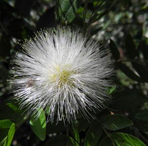 Puderquastenstrauch Bluete weiß Calliandra haematocephala 06