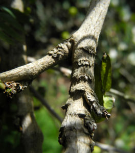 Puderquastenstrauch Blüte weiß Calliandra haematocephala