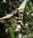 Zurück zum kompletten Bilderset Puderquastenstrauch Blüte weiß Calliandra haematocephala