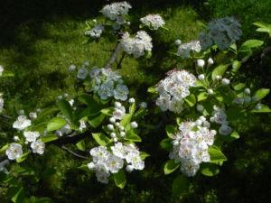 Puenktchen Weissdorn Bluete weiss Crataegus punctata 02