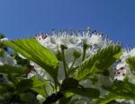 Bild: Pünktchen Weißdorn Blüte weiß Crataegus punctata
