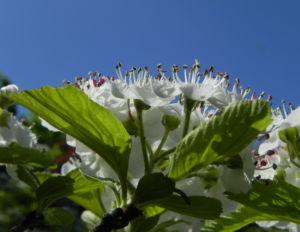 Bild: Puenktchen Weissdorn Bluete weiss Crataegus punctata