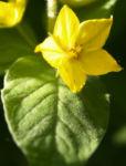Punktierter Gilbweiderich Bluete gelb Lysimachia punctata 01