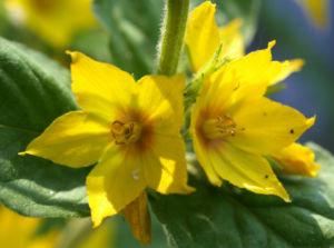 Punktierter Gilbweiderich Bluete gelb Lysimachia punctata 02