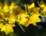 Punktierter Gilbweiderich Bluete gelb Lysimachia punctata 03