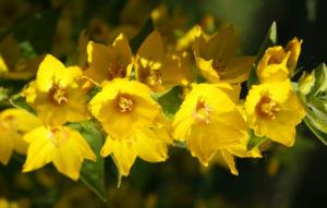Punktierter Gilbweiderich Bluete gelb Lysimachia punctata 05