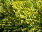 Punktierter Gilbweiderich Bluete gelb Lysimachia punctata 07