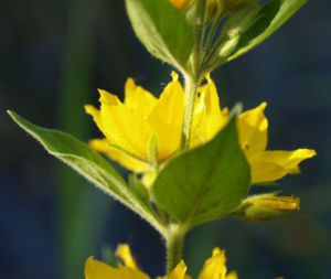 Punktierter Gilbweiderich Bluete gelb Lysimachia punctata 08