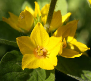 Punktierter Gilbweiderich Bluete gelb Lysimachia punctata 09