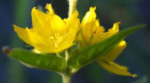 Punktierter Gilbweiderich Bluete gelb Lysimachia punctata 10