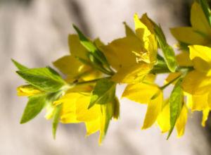 Punktierter Gilbweiderich Bluete gelb Lysimachia punctata 11
