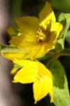 Punktierter Gilbweiderich Bluete gelb Lysimachia punctata 12