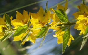 Punktierter Gilbweiderich Bluete gelb Lysimachia punctata 14