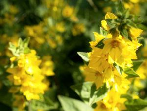 Punktierter Gilbweiderich Bluete gelb Lysimachia punctata 15