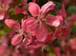 Bild: Blutapfel Blüte rot Malus purpurea