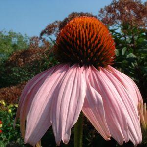 Purpur Echinacie Echinacea purpurea 01
