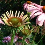 Purpur Echinacie Echinacea purpurea 03
