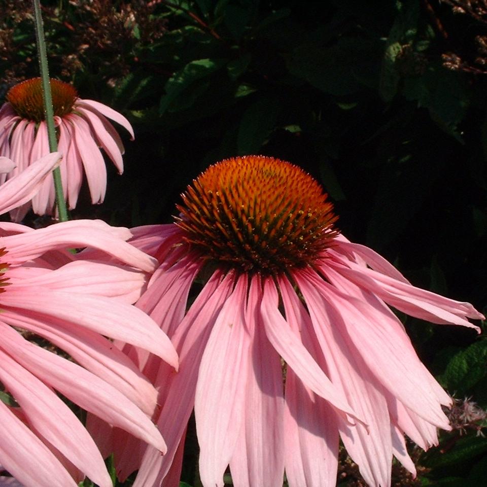Purpur Echinacie Echinacea purpurea