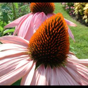 Purpur Echinacie Echinacea purpurea 06