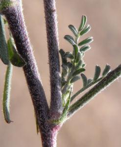 Purpur Korallenerbse Blatt gruen grau Hardenbergia violacea 02
