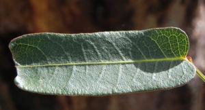 Purpur Korallenerbse Blatt gruen Hardenbergia violacea 05
