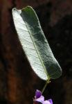 Purpur Korallenerbse Blatt gruen Hardenbergia violacea 06